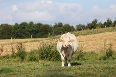 Корова в луг Стоковое фото RF