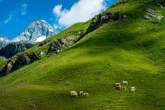 Корова в лужке На заднем плане Grossglockner - национальное равенство Стоковые Фотографии RF
