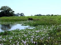 Корова в лужке Стоковое Изображение RF