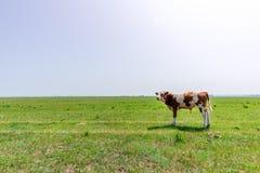 Корова в лужке Стоковые Изображения