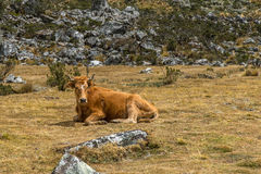 Корова в лужке стоковые изображения rf