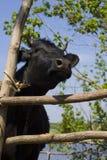 Корова в укрытии Стоковое Изображение RF