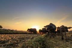 Корова в ферме с восходом солнца Стоковое Изображение RF