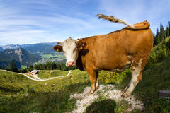 Корова в alps Стоковое фото RF