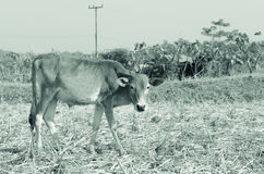 Корова в ricefarm стоковые фотографии rf