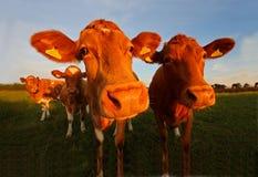 Корова Гернси Стоковое Изображение RF