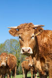 Корова говядины Лимузина при shaggy пальто зимы смотря любознательно на Стоковые Изображения