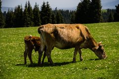 Корова, гора, трава, Wildflowers, стоковые фото
