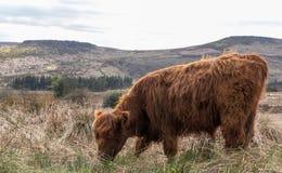 Корова гористой местности в пиковом районе в Шеффилде Стоковые Изображения