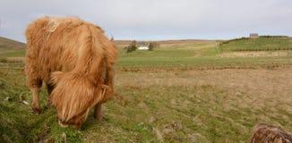 Корова гористой местности в стране scottland Стоковые Изображения RF
