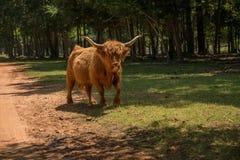 Корова гористой местности идя через луг Стоковое Изображение