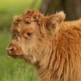 Корова гористой местности младенца Стоковое Изображение RF