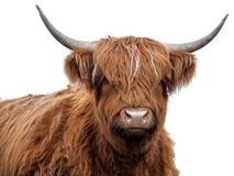 Корова гористой местности на белой предпосылке стоковые фотографии rf