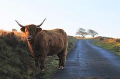 Корова гористой местности на вересковой пустоши стоковое изображение