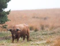 Корова гористой местности пася в голландском лесе Стоковое Изображение