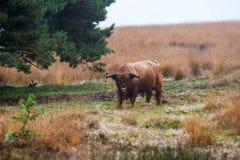 Корова гористой местности пася в голландском лесе Стоковая Фотография