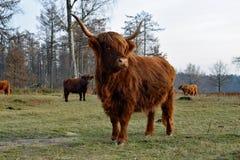 Корова гористой местности стоя на переднем плане Стоковая Фотография