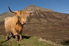 Корова гористой местности Стоковые Фотографии RF