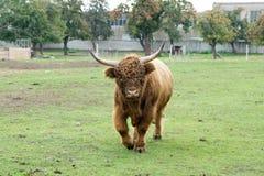 Корова гористой местности Стоковые Изображения RF