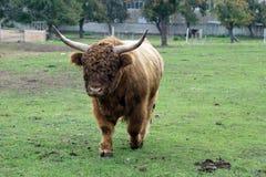 Корова гористой местности Стоковое Изображение RF
