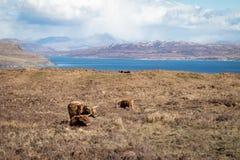 Корова гористой местности Стоковые Фото