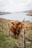 Корова гористой местности Стоковое фото RF