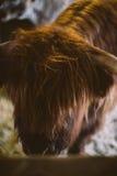 Корова гористой местности Стоковое Изображение