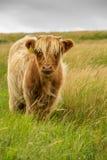 Корова гористой местности Стоковая Фотография