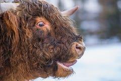 Корова гористой местности Mooing Стоковые Фотографии RF