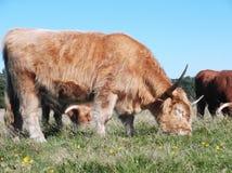 Корова 3 гористой местности Zeegse Стоковые Изображения