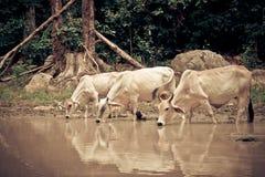Корова группы Стоковое Изображение RF