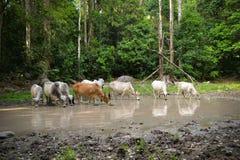 Корова группы Стоковые Фотографии RF