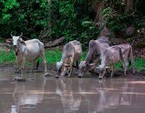 Корова группы Стоковая Фотография RF