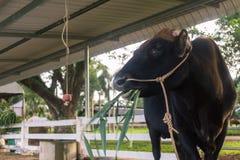 Корова для концепции поголовья Стоковое Изображение RF