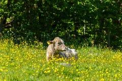 Корова лежа вниз среди цветков Стоковые Изображения RF