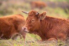 Корова лежа в поле Стоковое Изображение RF