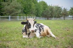 Корова лежа в траве стоковое изображение