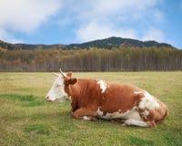 Корова лежа в луге осенью. Стоковое Изображение RF