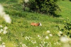 Корова лежит в зеленом поле Стоковое Изображение