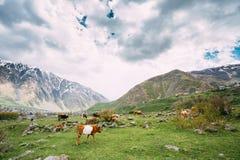 Корова есть выгон травы весной Коровы пася на зеленой горе Стоковое Изображение RF