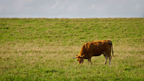 корова есть лужок травы Стоковые Изображения