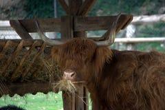 корова есть ринв scottish горца Стоковое фото RF