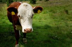 Корова есть траву в горе Стоковые Фотографии RF
