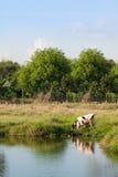 Корова есть траву в поле Стоковое Изображение RF
