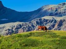 Корова есть траву в швейцарских горах Стоковая Фотография
