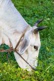 Корова есть траву Стоковая Фотография