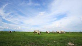 корова есть траву Стоковые Фотографии RF