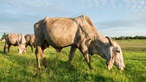 корова есть траву Стоковые Фото