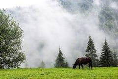 Корова ест траву в горах Стоковые Изображения