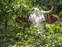 Корова ест траву пася в выгонах бесплатная иллюстрация